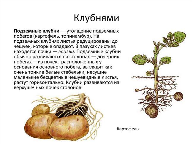 Размножение картофеля семенами