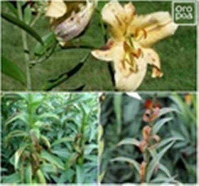 Чем болеют лилии? Как определить заболевание у лилии? Болезни и вредители лилий