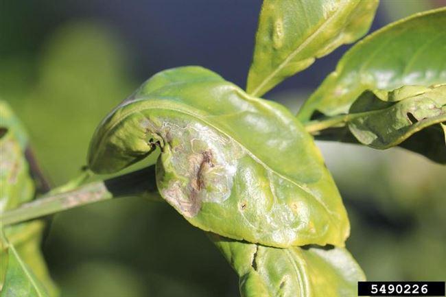 Причины и лечение вредителей домашнего лимона