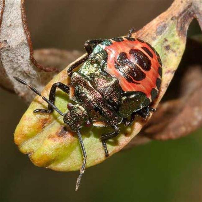 Использование насекомых–хищников