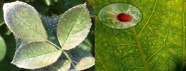 Народные способы борьбы с паутинным клещом