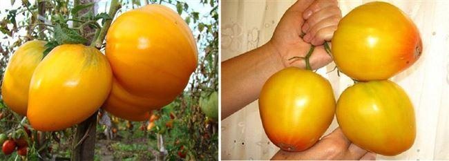Особенности выращивания помидоров Золотые купола, посадка и уход