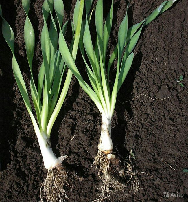 Размножение лука-слизуна делением куста