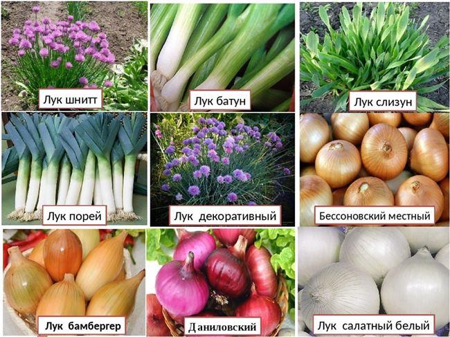 История выращивания лука-батуна