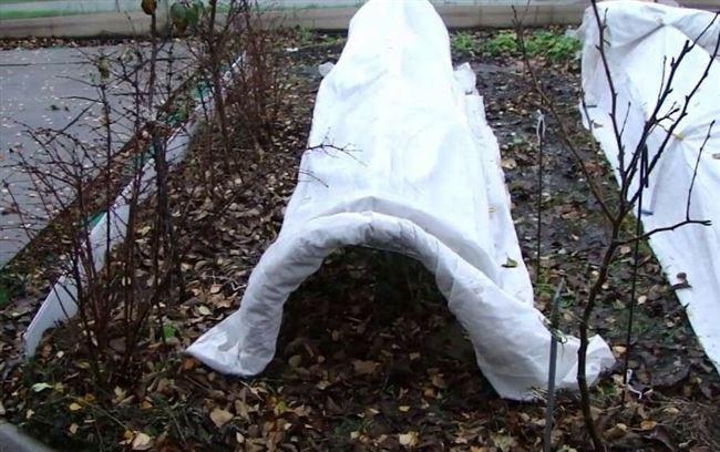 Нужен ли полив и укрытие на зиму