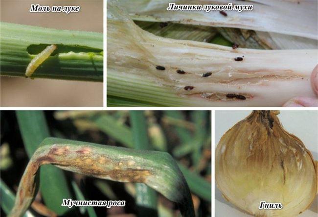 Болезни и вредители декоративного лукового цветка
