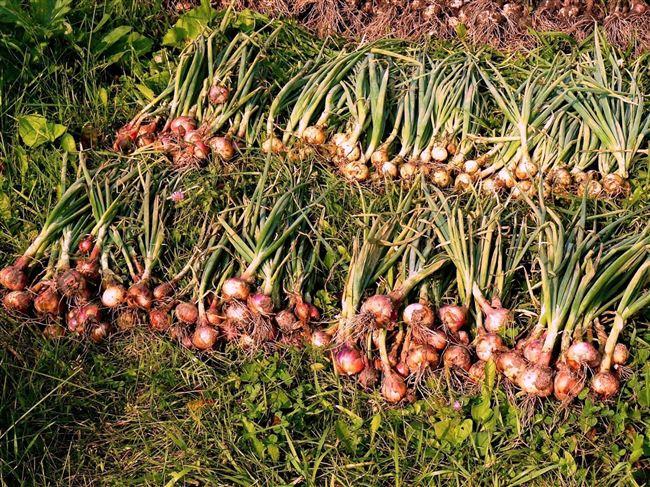 Правильно выращивание и хранение семейного лука, разнообразие сортов