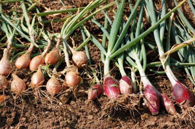 Как выращивать семейный лук рассадным способом?