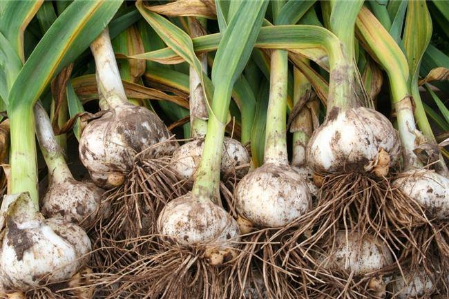Выращивание и размножение лука Суворова
