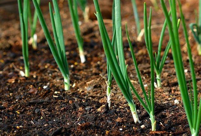 Посадка в открытый грунт севком и семенами