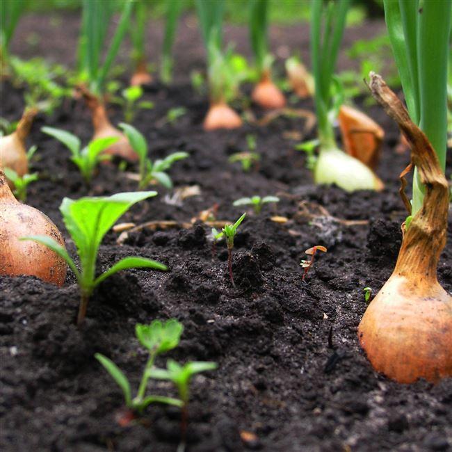 Посадка и выращивание из семян и севка