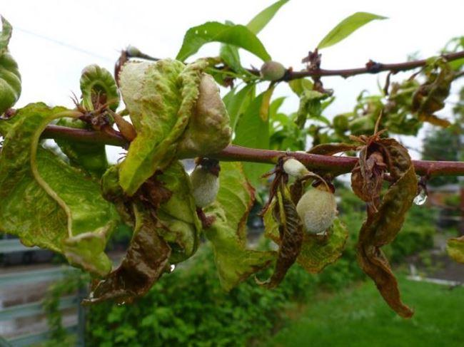 Курчавость листьев персика — характеристика и причины