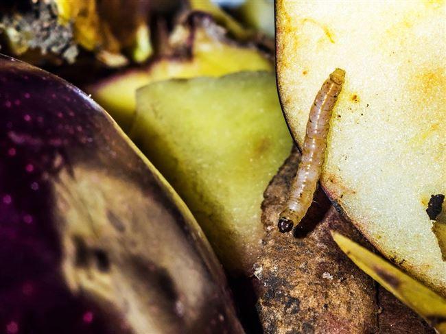 Симпатичный вредитель – плодожорка восточная
