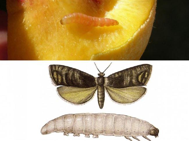 Опасные вредители персика обнаружены