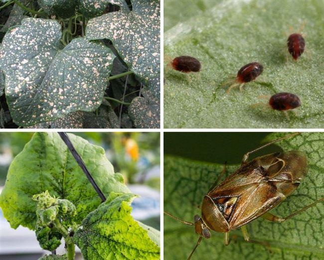 Химические инсектициды для борьбы с вредителями огурца