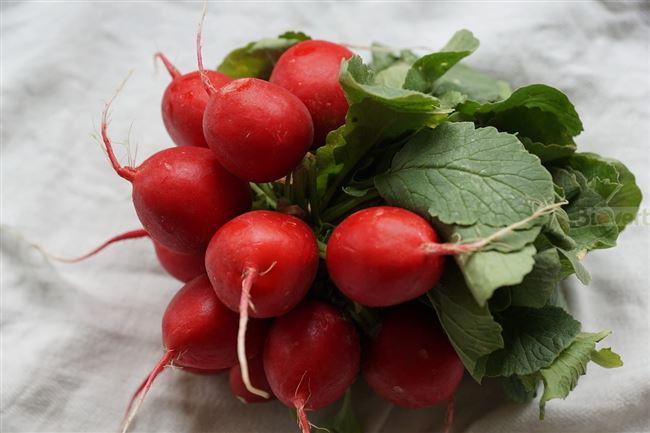 Описание лучших сортов редиски — по отзывам садоводов