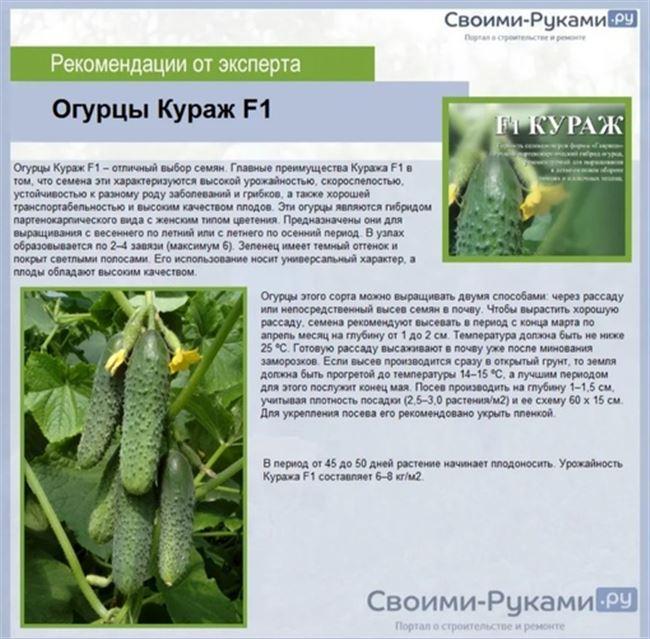 Отзывы садоводов про выращивание сорта огурцов «Кураж»