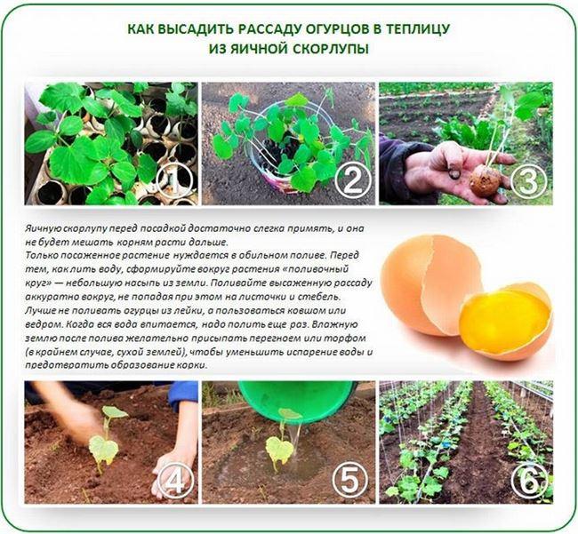 Подготовка почвы и высадка рассады