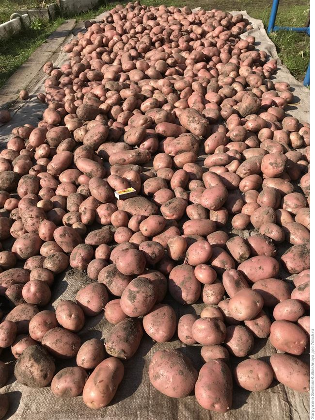 Отзывы о картофеле Рябинушка