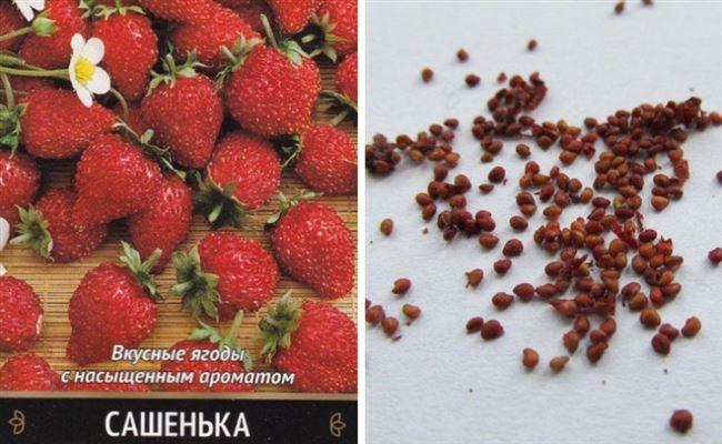 Выбор семян и посадка земляники