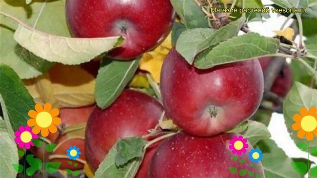 Описание яблони Фрегат