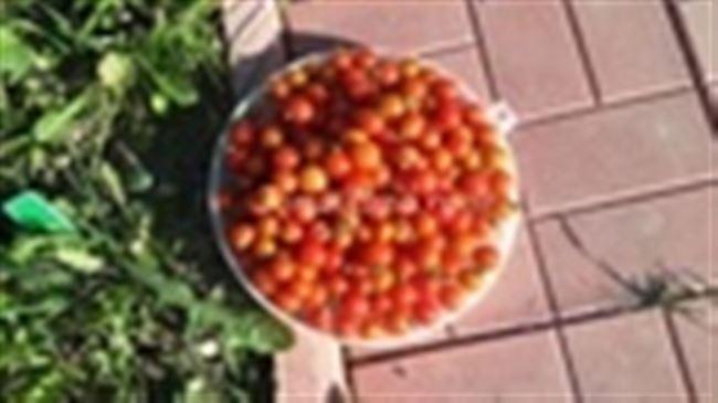 Как формировать томат Хоровод, видео