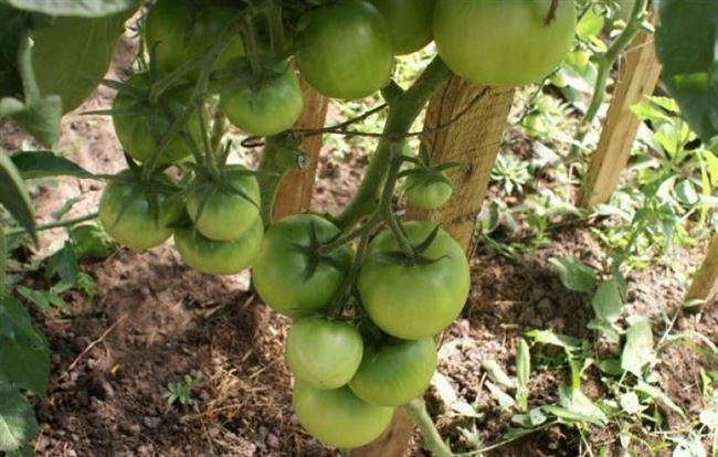 Преимущества и характеристика томатов Цунами