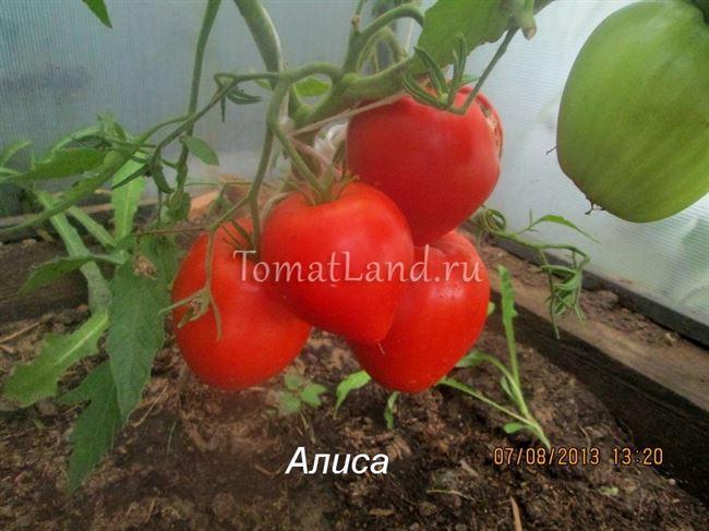 Описание и характеристика томата Алиса, отзывы, фото