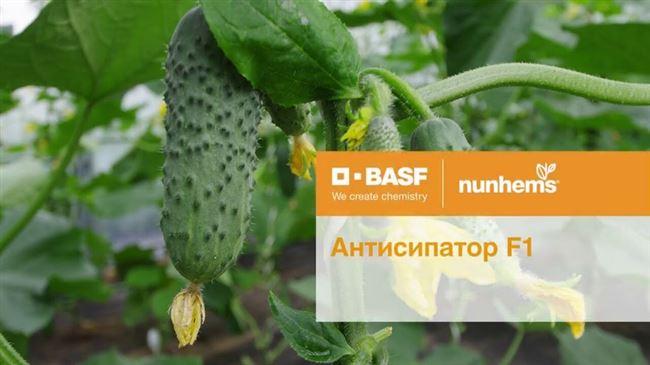 Характеристика огурцов Антисипатор