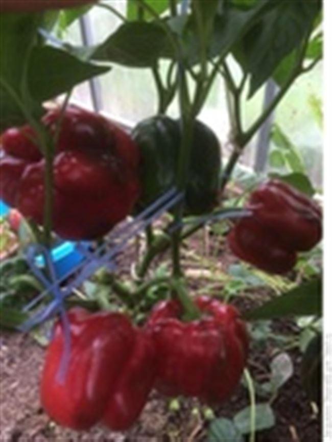 Техника выращивания, посадки и ухода за сортом перца «Биг Бой»