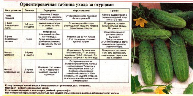 Особенности выращивания и ухода в открытом грунте и в теплице