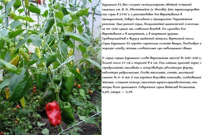 Выращивание и уход