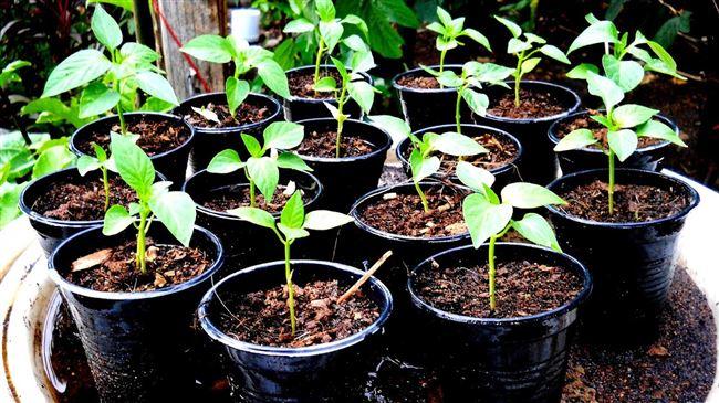 Подготовка к выращиванию рассады перца, высадка семян и дальнейший уход