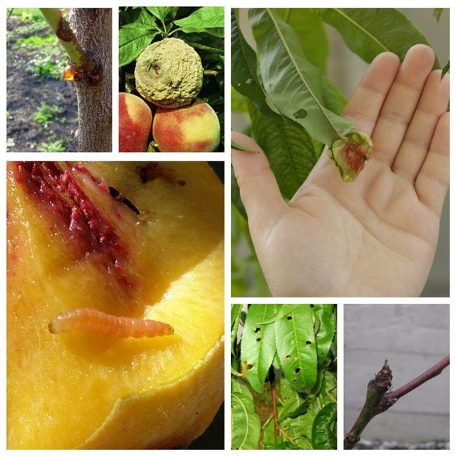 Болезни плодов
