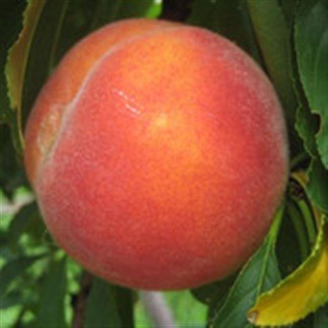 Персик юбилейный описание фото