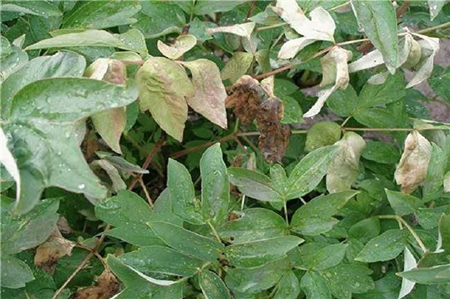 Чем обработать пионы от болезней осенью