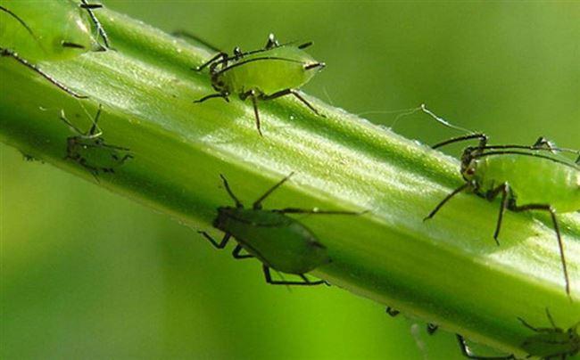 Профилактика болезней и появления вредителей на петрушке