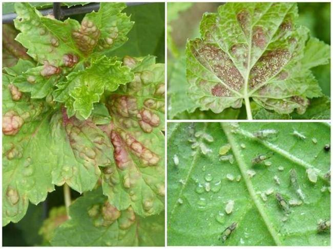 Причины и симптомы болезней насекомых-вредителей ревеня, меры борьбы с ними