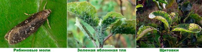 Рябинная и зеленая яблонная тля