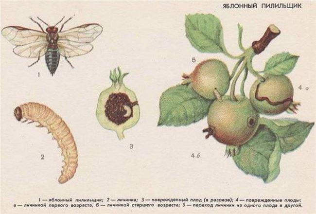 Яблоневый плодовый пилильщик
