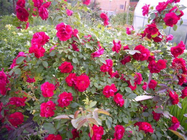 Морозоустойчивые сорта роз для Урала