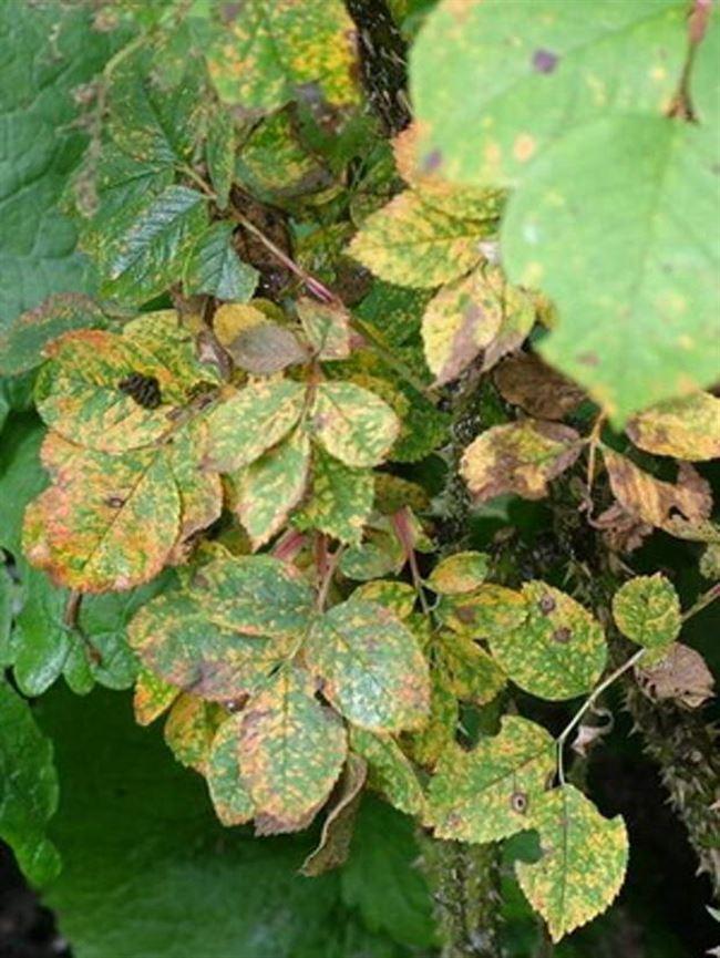Меры профилактики от мозаики - опасной болезни садовой розы