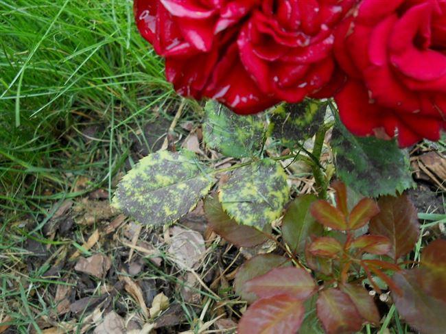 Как защитить от заболеваний розы