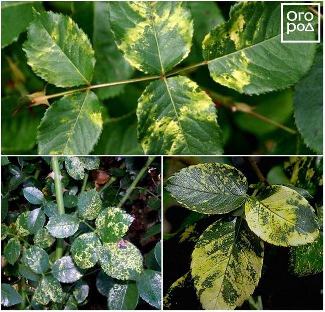Вирусная мозаика - заболевание роз и их лечение (лат. Rose mosaic virus)