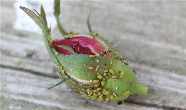 Причины появления вредителей у роз