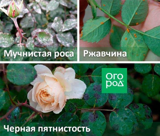 Лучшие народные средства от болезней роз