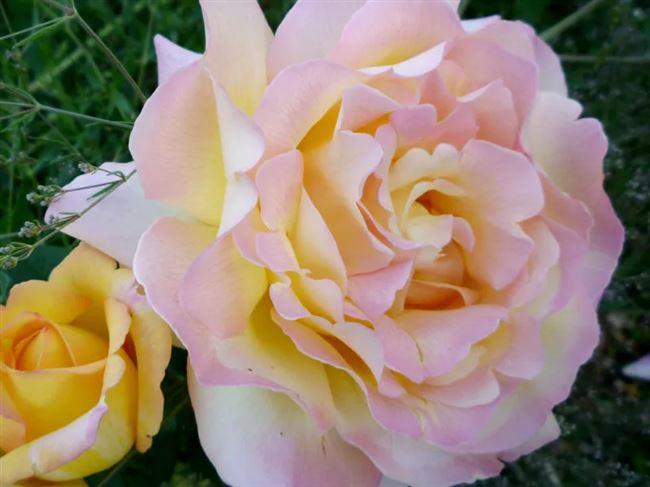 Размножение розы сорта Глория Дей (инструкции с фото)