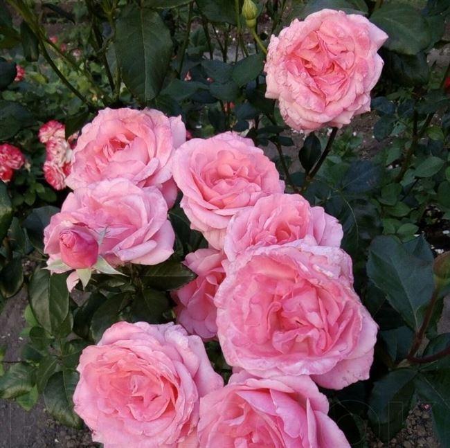 Как сажать розу флорибунду Квин Элизабет