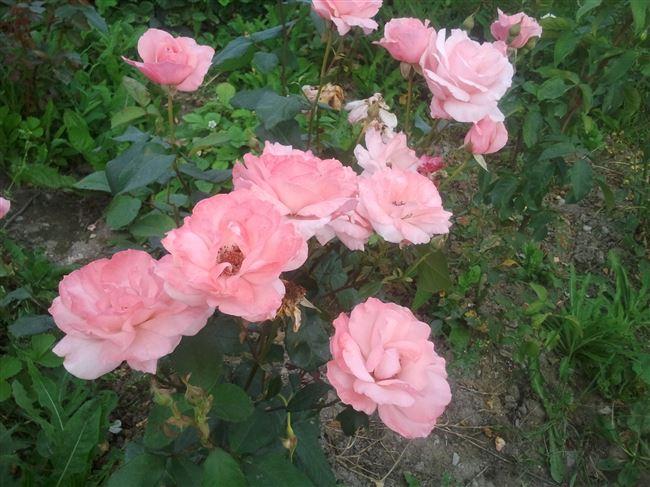 Посадка и уход за розой флорибундой Квин Элизабет