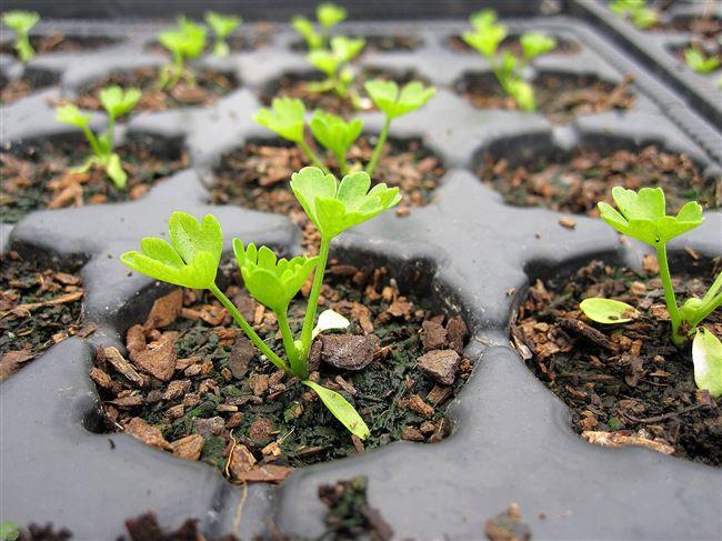 Посадка листового сельдерея в открытый грунт семенами и рассадой